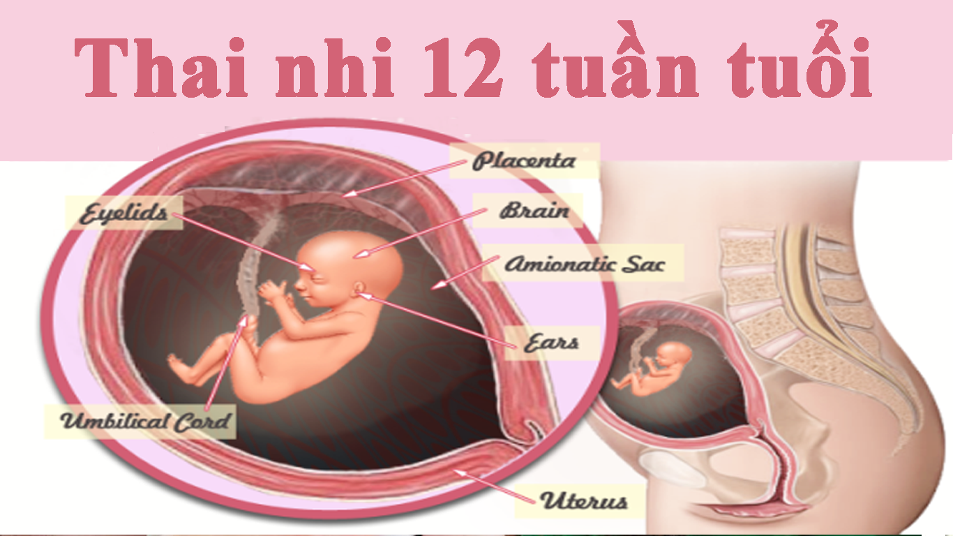 su phat trien cua thai nhi 12 tuan tuoi – chela-ferr-forte