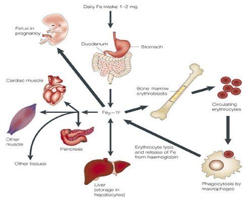 2/3 lượng sắt cơ thể hấp thụ chuyển hóa thànhhemoglobin